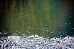 Duck Water Race. When I am looking at the water sports competition such as the day of winter it is very interesting and I forget the passing of time Royalty Free Stock Images