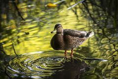 Duck in water reflection nature ecology save live. Duck in water reflection nature ecology save green Stock Photo