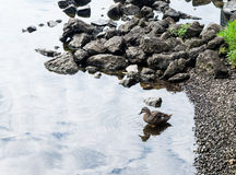 Duck in water, with reflection. Single duck reflecting in river water near shoreline Stock Photo