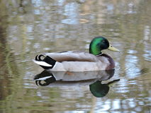 Duck on water with ripple and reflection. Stock Image