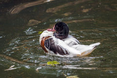 Duck in water Royalty Free Stock Photos