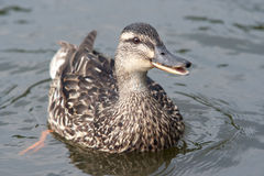 Duck on the water Stock Photo