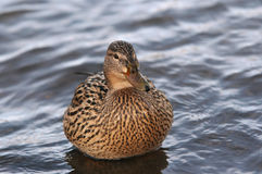 Duck On The Water Royalty Free Stock Photography