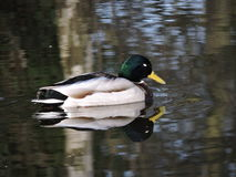Duck on water Royalty Free Stock Images