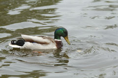 Duck in a water Royalty Free Stock Photography