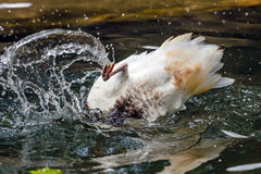 Duck in water. Splashing duck in the river water royalty free stock photos