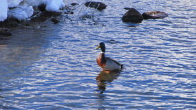 Duck in Water. This is a standing in the water by a dam Stock Photos