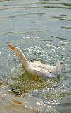 Duck in the water. Duck swaming in the water Stock Images