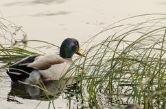 Duck in the water Stock Images