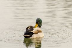 Duck in the water Stock Photos