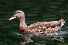 Duck in Water Royalty Free Stock Image