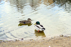 Duck on water Stock Image