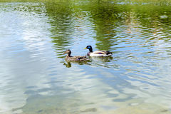 Duck on water Royalty Free Stock Photo