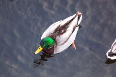 Duck in water while winter stock images