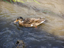 Duck on the water Royalty Free Stock Photos