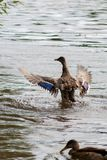 The duck waves wings shaking off on a pond. In summer day Stock Photography
