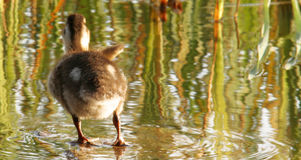Duck waving. Duckling waving good-bye to the photographer Stock Photos