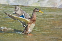 Duck waving its wings on a stream Royalty Free Stock Photos