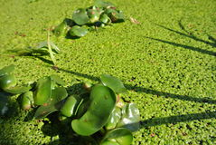 Duck weed in pond Royalty Free Stock Photo