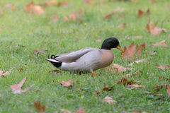 Duck on a wet grass Royalty Free Stock Photo