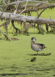 Duck in wetlands. A duck is perched in a swamp area Royalty Free Stock Photos