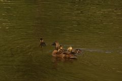 A duck which swims with its ducklings. It is in a lake, with the sun, it does not have nobody there Royalty Free Stock Photo