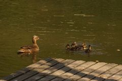 A duck which swims with its ducklings. It is in a lake, with the sun, it does not have nobody there Stock Images
