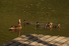 A duck which swims with its ducklings. It is in a lake, with the sun, it does not have nobody there Stock Photography