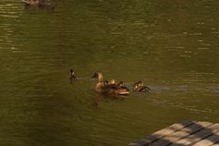 A duck which swims with its ducklings. It is in a lake, with the sun, it does not have nobody there Stock Image