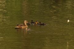 A duck which swims with its ducklings. It is in a lake, with the sun, it does not have nobody there Royalty Free Stock Images
