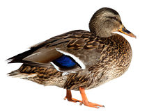 Duck on white Royalty Free Stock Photos