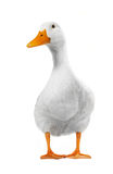 Duck White Royalty Free Stock Image