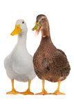 Duck white Stock Photos