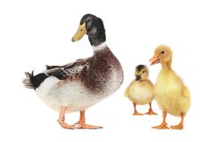 Duck. On a white background stock photo