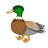 A duck on a white background Stock Images