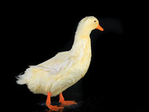 Duck white Royalty Free Stock Photo