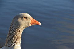 White duck face Stock Photo