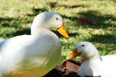 Goose. White gooses in their habitat royalty free stock photography