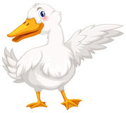 Duck with white feather Royalty Free Stock Photography