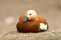 Duck white head. Duck with white head lying on the ground Stock Image