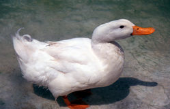 Duck. White duck in a lake Stock Photography
