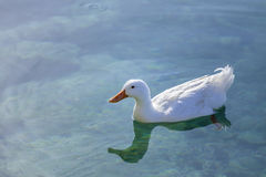 Duck. White Duck. Sea Water Duck swimming in the Aegean Sea with its reflexion on the water Royalty Free Stock Image