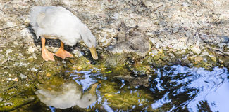 Duck. White duck on small river Stock Photography