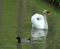 Duck and white swan Royalty Free Stock Photography
