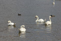 Duck and white swans 8433. Duck and white swans flock on pond 8433 Royalty Free Stock Image