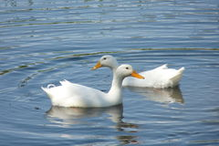 Duck. White duck swimming in a pond Royalty Free Stock Photo