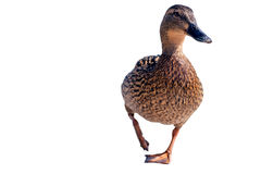 Duck on white. Walking duck isolated on white Royalty Free Stock Photo