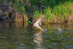 Duck wild,  flies over the river. Duck wild, male flies over the river Stock Image
