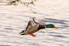Duck wild, male flies over the river. Duck wild, flies over the river Stock Images