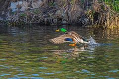 Duck wild flies over the river. Duck wild, male flies over the river Royalty Free Stock Image